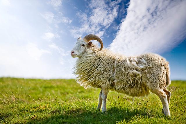 ムートン敷シーツ(羊の毛皮)